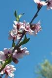 De lente bloeiende perzik stock foto