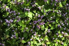 De lente bloeiende purpere bloemen Stock Afbeelding
