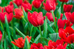 De lente bloeiende rode tulpen in tuin Stock Afbeelding