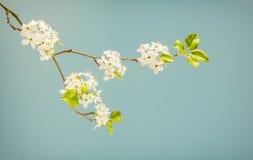 De lente bloeiende tak in gedempte kleuren Stock Afbeeldingen