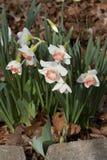 De lente Bloeiende Witte en Roze Gele narcissen royalty-vrije stock fotografie