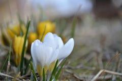 De lente bloeiende witte krokussen stock afbeeldingen