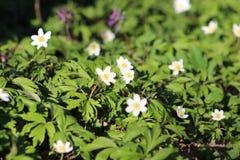 De lente bloeit anemoon Stock Foto