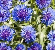De lente bloeit blauw korenbloembehang Stock Foto