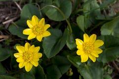 De lente bloeit boterbloemen Stock Foto