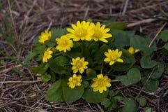 De lente bloeit boterbloemen Royalty-vrije Stock Afbeeldingen
