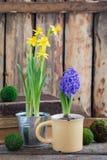 De lente bloeit gele narcissen en blauwe hyacint op de houten achtergrond Pasen en Maart 8 prentbriefkaarconcept Stock Fotografie