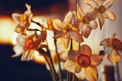 De lente bloeit gele narcissen in het gouden zonlicht Stock Afbeelding