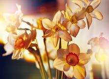 De lente bloeit gele narcissen in het gouden zonlicht Royalty-vrije Stock Foto