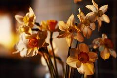 De lente bloeit gele narcissen in het plaatsende zonlicht Stock Foto