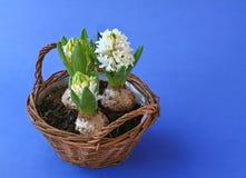 De lente bloeit hyacinten in mand Royalty-vrije Stock Foto's
