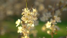 De lente bloeit kers stock video
