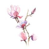 De lente bloeit magnolia het schilderen waterverf Stock Afbeelding