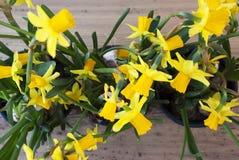 De lente bloeit Narcissus Or Daffodil stock afbeeldingen