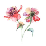 De lente bloeit pioen het schilderen waterverf Royalty-vrije Stock Afbeelding