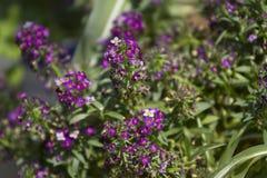 De lente bloeit purple. Stock Foto