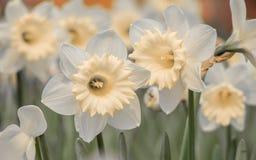 De lente bloeit reeks, gele narcissen Royalty-vrije Stock Afbeeldingen