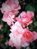 De lente bloeit rozen Stock Foto