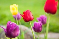 De lente bloeit Tulip Growing In Garden In Sunny Day royalty-vrije stock foto
