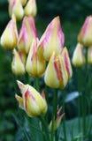 De lente bloeit tulpen. Royalty-vrije Stock Afbeeldingen
