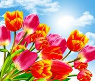 De lente bloeit tulpen Royalty-vrije Stock Afbeelding