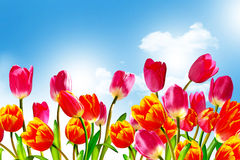 De lente bloeit tulpen Stock Afbeelding