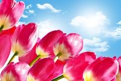De lente bloeit tulpen Royalty-vrije Stock Afbeeldingen
