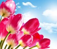 De lente bloeit tulpen Stock Fotografie