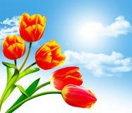 De lente bloeit tulpen Royalty-vrije Stock Fotografie