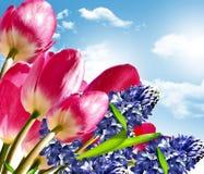 De lente bloeit tulpen Royalty-vrije Stock Foto