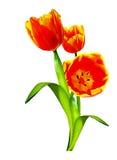 De lente bloeit tulpen Royalty-vrije Stock Foto's