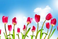 De lente bloeit tulpen Stock Foto