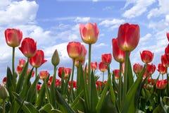De lente bloeit tulpen in blauwe hemel Royalty-vrije Stock Afbeeldingen