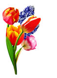 De lente bloeit tulpen en hyacinten Royalty-vrije Stock Foto
