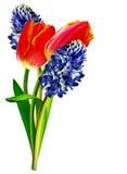De lente bloeit tulpen en hyacinten Stock Afbeeldingen
