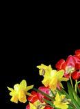 De lente bloeit tulpen op zwarte achtergrond worden geïsoleerd die Stock Foto