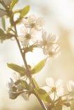 De lente, bloemen, bloei, bloemblaadjes, fruitbomen, aard, gloed Royalty-vrije Stock Afbeelding