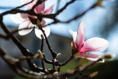 De lente bloemenachtergrond met magnoliabloemen stock foto
