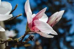 De lente bloemenachtergrond met magnoliabloemen royalty-vrije stock foto