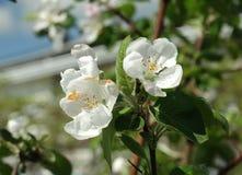 In de lente is de boom behandeld met bloemen Stock Afbeeldingen