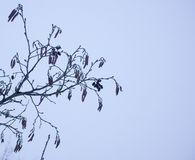 De lente in bos met elsboom ontluikt en takken op heldere blauwe hemelachtergrond stock afbeelding