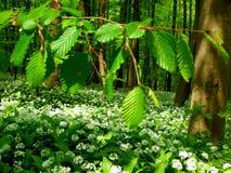 De lente boshoogtepunt van het tot bloei komen het knoflook van de beer stock foto's