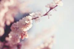 De lente Cherry Blossoms Stock Foto's