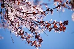 De lente Cherry Blossoms royalty-vrije stock afbeeldingen