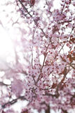 De lente Cherry Blossoms royalty-vrije stock fotografie