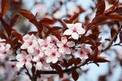 De lente Cherry Blossoms Stock Afbeeldingen