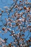 De lente Cherry Blossoms Roze bloemen Stock Afbeelding