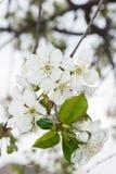 De lente Cherry Blossoms Witte bloemen Stock Foto