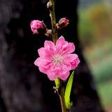 De lente Cherry Flower Royalty-vrije Stock Foto
