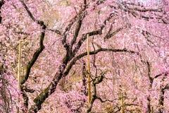 De lente Cherry Trees Royalty-vrije Stock Afbeeldingen